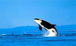 Orca p