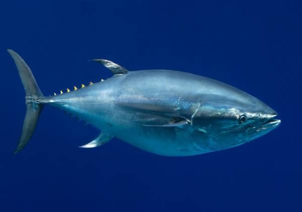 Pesca: parte campagna tonno rosso,sale 20% quota Italia 2016